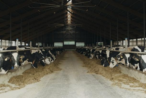 Vaches d'élevage
