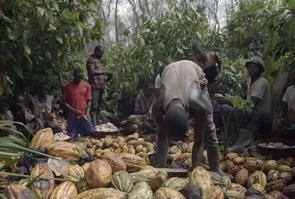 Des planteurs récoltent et trient les fèves de cacao.