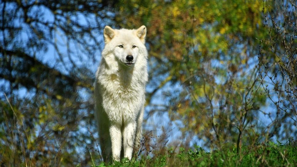 Décrié par les éleveurs, le nouveau plan loup de Nicolas Hulot, soumis à consultation publique jusqu'au 29 janvier, se fixe comme objectif d'assurer la viabilité de l'espèce