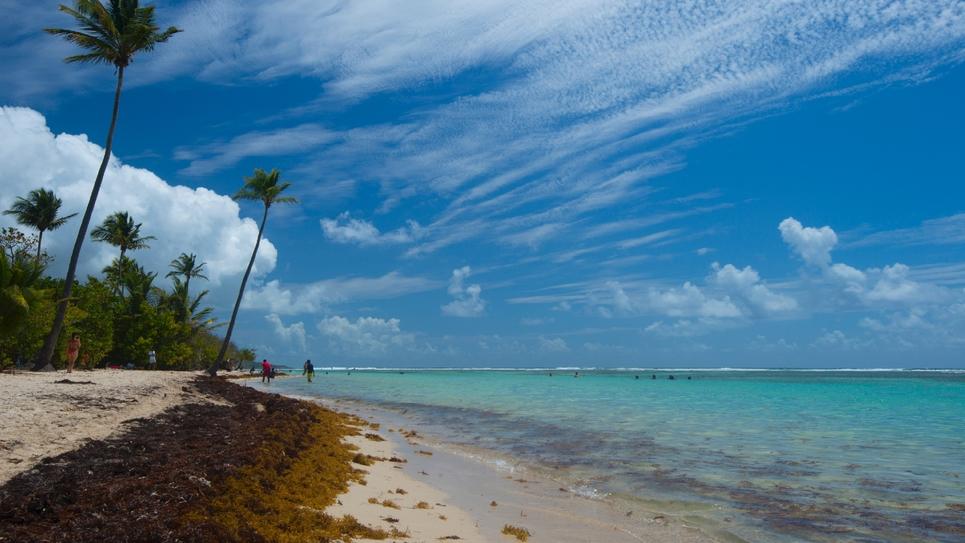 Des algues sargasses sur la plage de Sainte Anne en Guadeloupe le 23 avril 2018