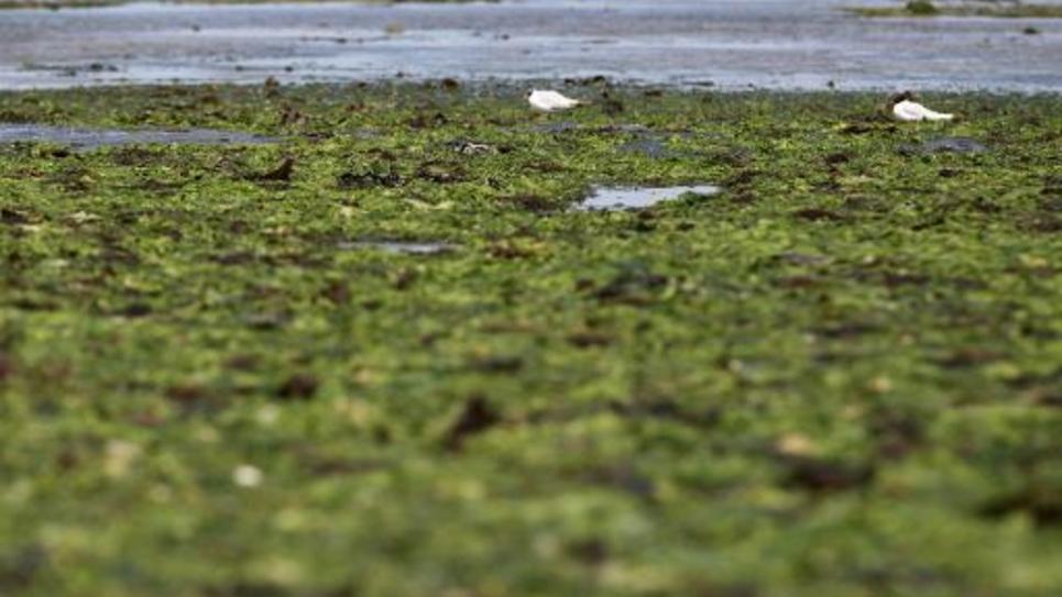 Les algues vertes recouvrent la plage de Grandcamp-Maisy, dans le Calvados, le 9 juillet 2014
