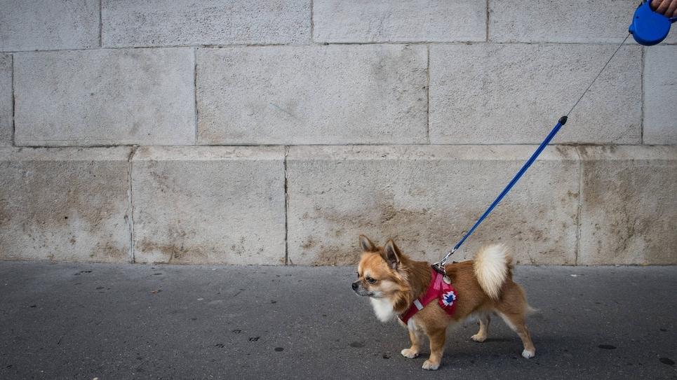 Un chien dont la laisse est décorée par une cocarde tricolore symbole de la république française, le 4 octobre 2016, à Belfort.