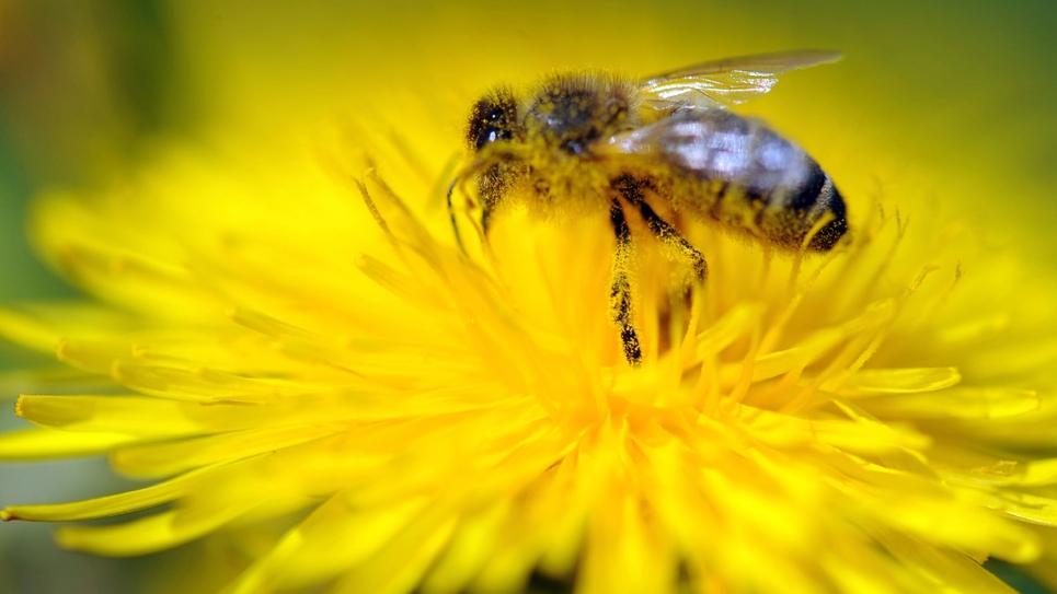 Une abeille butine une fleur de pissenlit