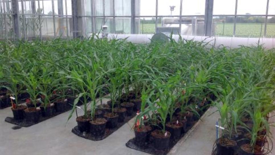 Des plans de maïs OGM dans une serre près de Chappes le 20 mai 2014