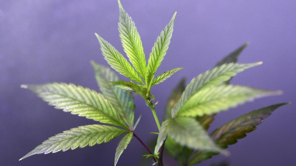 """Plus de 70 personnalités,dont les ex-têtes de liste aux européennes Yannick Jadot et Raphaël Glucksmann, appellent les pouvoirs publics """"à agir vite"""" pour légaliser le cannabis au nom du """"pragmatisme"""""""