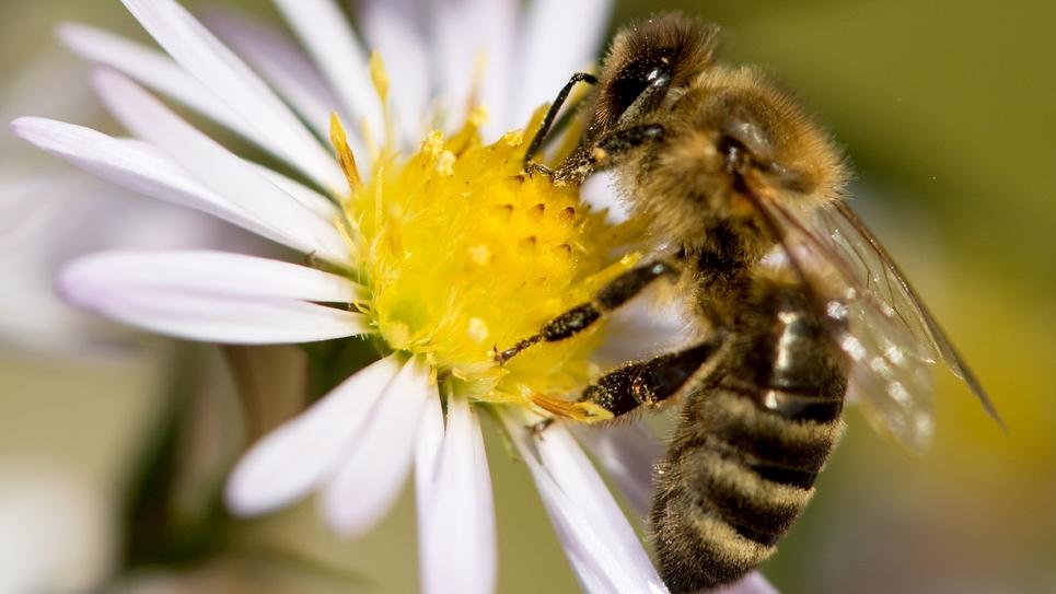 L'association Générations Futures a bataillé à Nice pour obtenir du tribunal administratif le gel de l'autorisation de vente de deux nouveaux pesticides en raison des risques pour la santé des abeilles