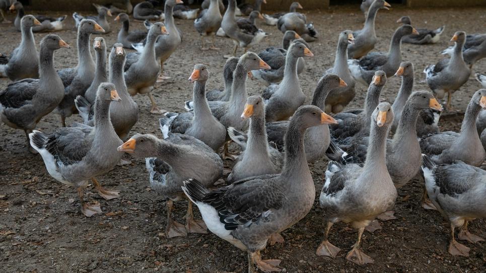 Une ferme d'élevage d'oies et de canards