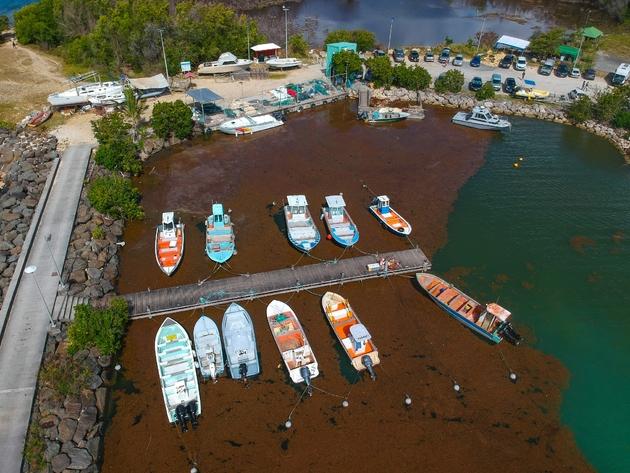 Le port du Gosier, en Guadeloupe, envahi par les Sargasses en avril 2018