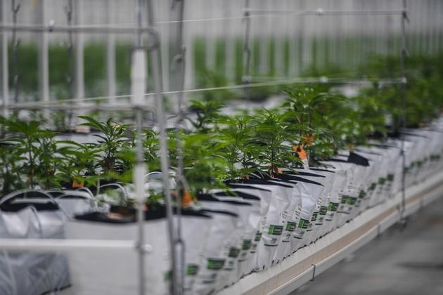 Des plants de cannabis sur le nouveau site européen de production de Tilray, start-up canadienne spécialisée dans le cannabis thérapeutique, inauguré à Cantanhede au Portugal en 2018